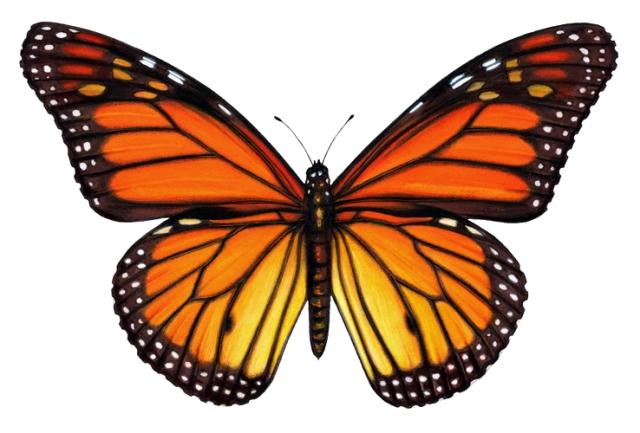 female-versus-male-monarch-butterfly