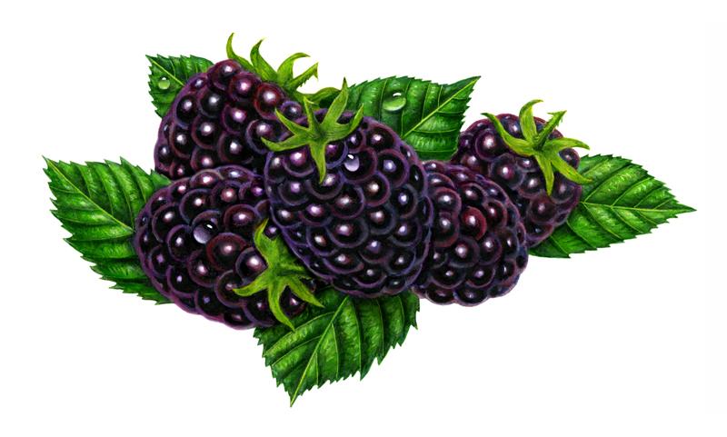 blackberry fruit clipart - photo #14